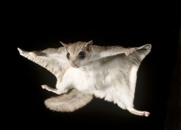 southern-flying-squirrel-glaucomys-volans-6124446.jpg