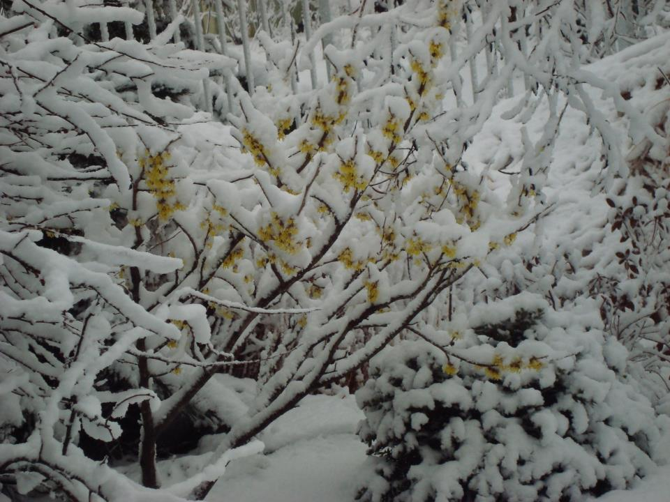 Witch-hazel-tree-Westerstede.jpg