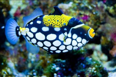 Clown-Triggerfish