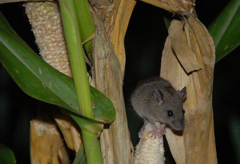 bamboo-flowering-rats[6]