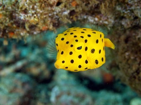Yellow boxfish.jpg