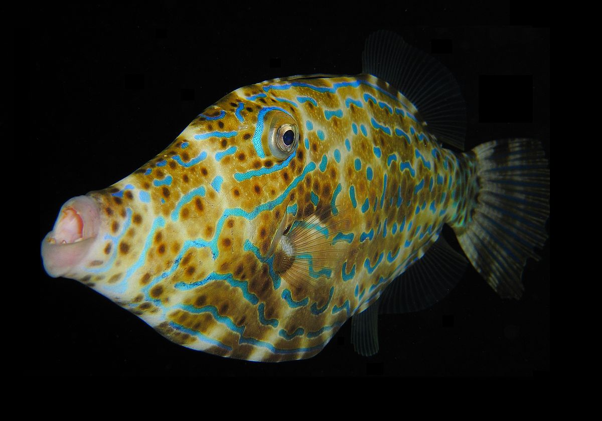 1200px-Scrawled_Filefish.jpg
