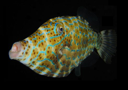 1200px-Scrawled_Filefish.jpg