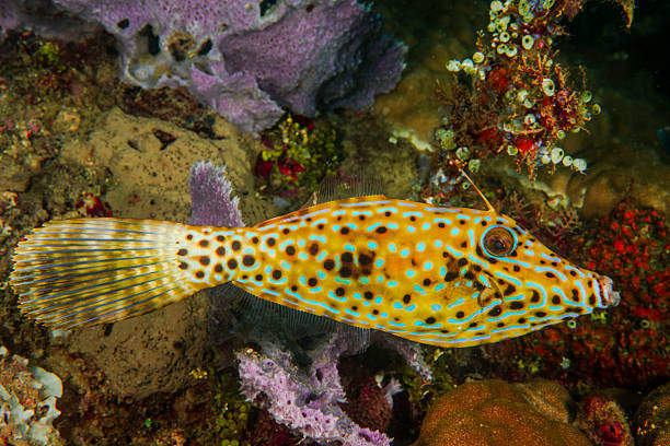 A Filefish in Lembeh