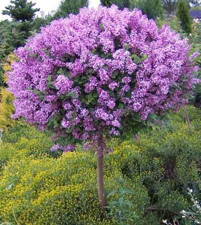 miss-kim-lilac-tree-1-400-01_grande