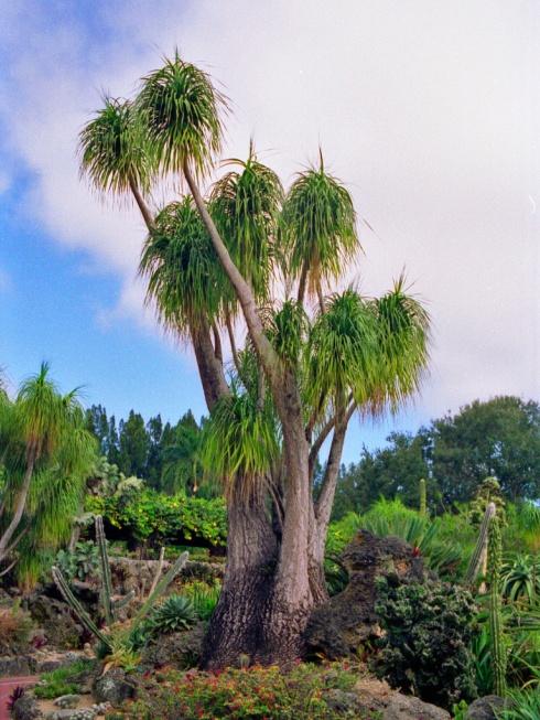 Asparagaceae_-_Beaucarnea_recurvata_Miami_1