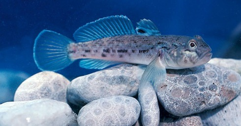 round-goby-title-pic.jpg
