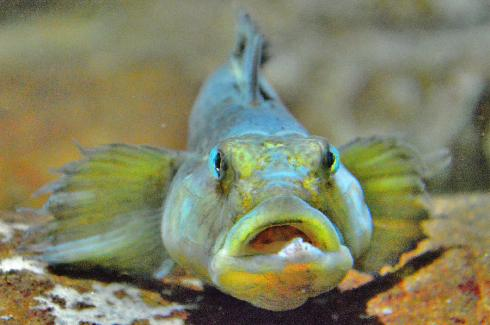upon-maturation-round-goby-andy-za.jpg