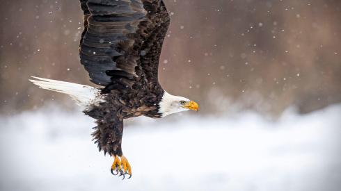 web_h_p1_4047_1_bald-eagle_bonnie_block_kk-adult.jpg
