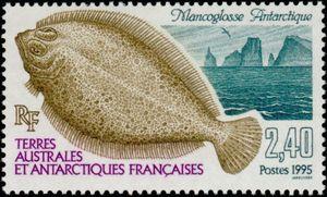 Antarctic_Armless_Flounder_Mancopsetta_maculata_maculata.jpg