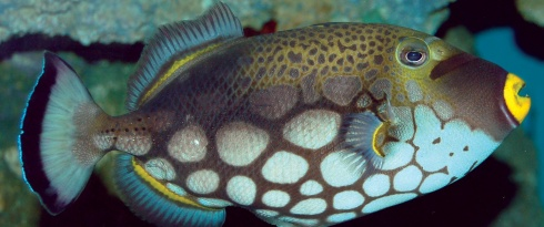 clown_triggerfish_1.jpg