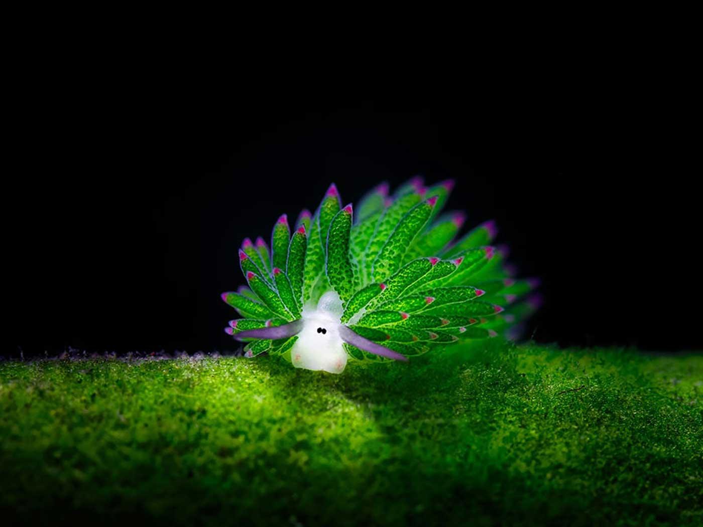 leaf-sheep-sea-slug-costasiella-kuroshimae-3.jpg