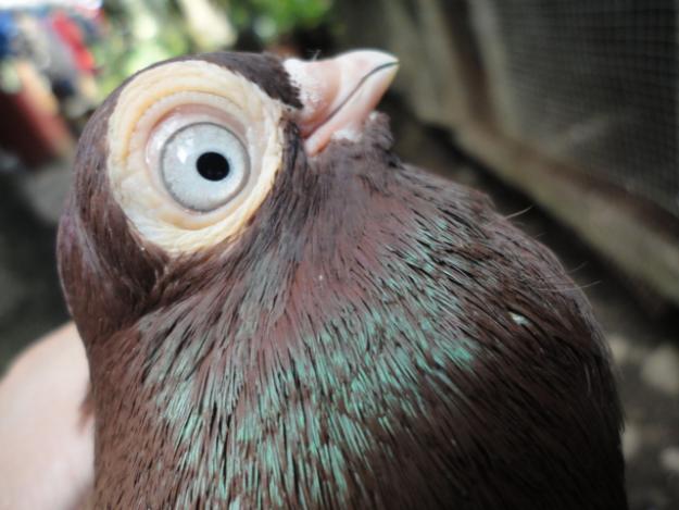2-budapest-pigeon.jpg