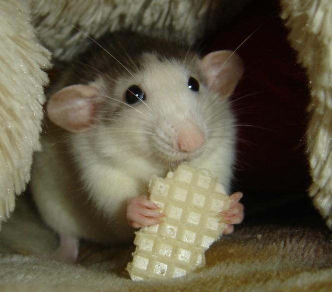 dumbo_rats