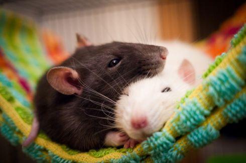 sleeping-rats-120694080-57ffdee53df78cbc2894461a