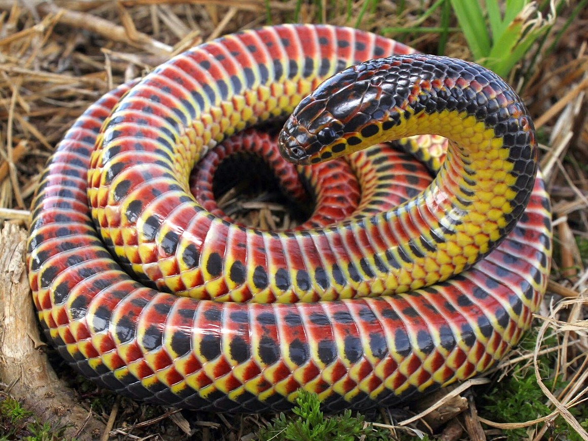 Farancia_erytrogramma_(rainbow_snake)