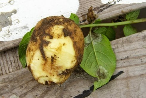 late-blight-symptoms-potato-550