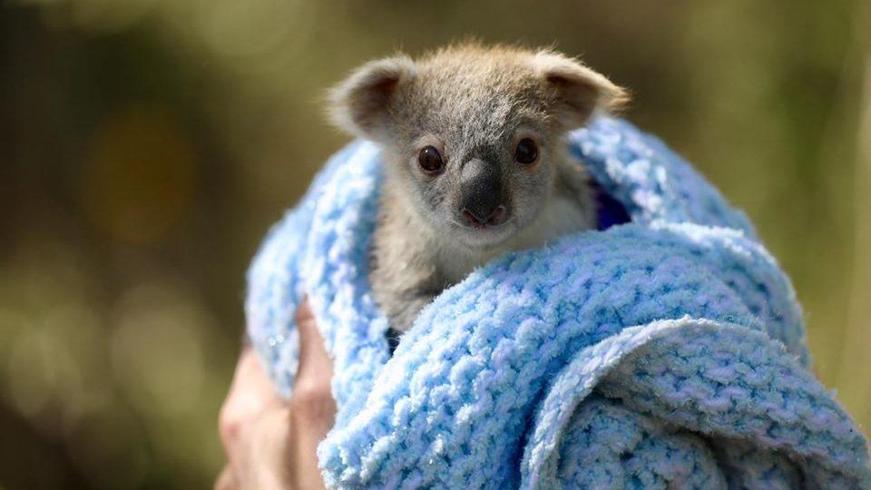 baby-koala-960x540
